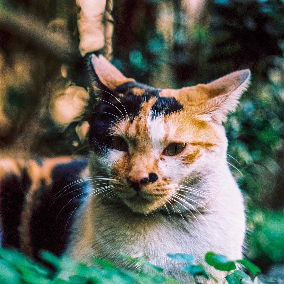 Bokehlicious feline - Fuji Provia 400X (RXP 400) shot at EI 400. Color reversal (slide) film in 120 format. 2x Teleconverter, Cross processed.