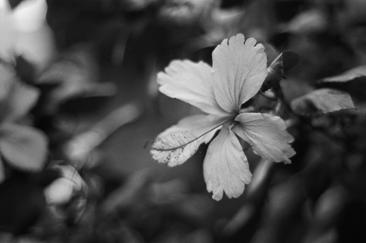 2016-07-28 - Hibiscus - Agfa APX 400 Professional shot at EI 400. Black and white negative film in 35mm format.