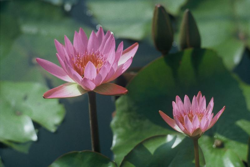Lotus-es - Shot on Wittner Chrome 200 (Agfa RSX 200) at EI 200. Color slide film in 35mm format.
