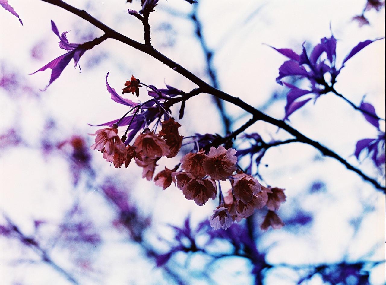 Purple sakura - Lomochrome Purple XR 100-400 shot at EI 400. Color negative film in 120 format shot as 6x4.5.