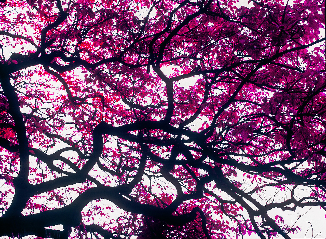 Fuchsia canopy - Shot on Kodak AEROCHROME III 1443 at EI 200. Color infrared aerial surveillance film in 120 format shot as 6x4.5. Overexposed one stop with #21 orange filter